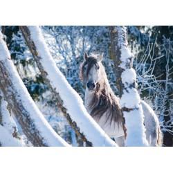 "Leinwand ""White Winter Horse"""